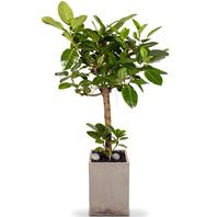뱅갈고무나무2호
