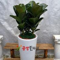고무나무((80,000원20%off↓)