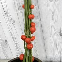 화초열매 토마토